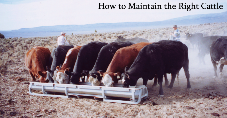 How to Maintain the Right Cattle