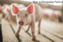 How to Manipulate Feed on Pigs