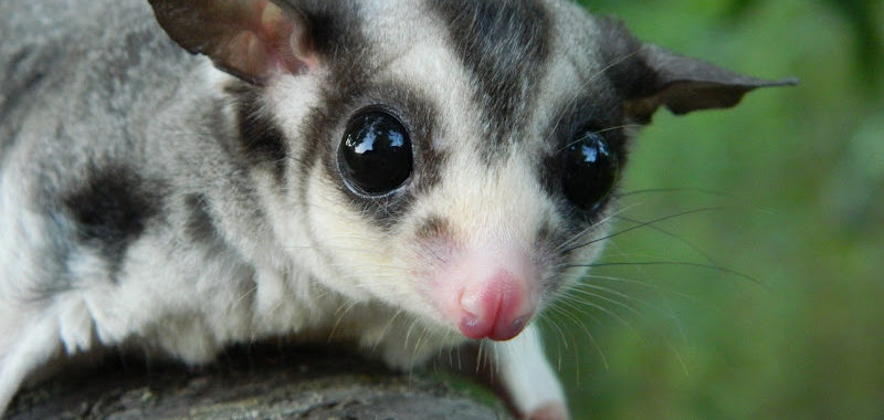 Buying a Sugar Glider From a Pet Shop