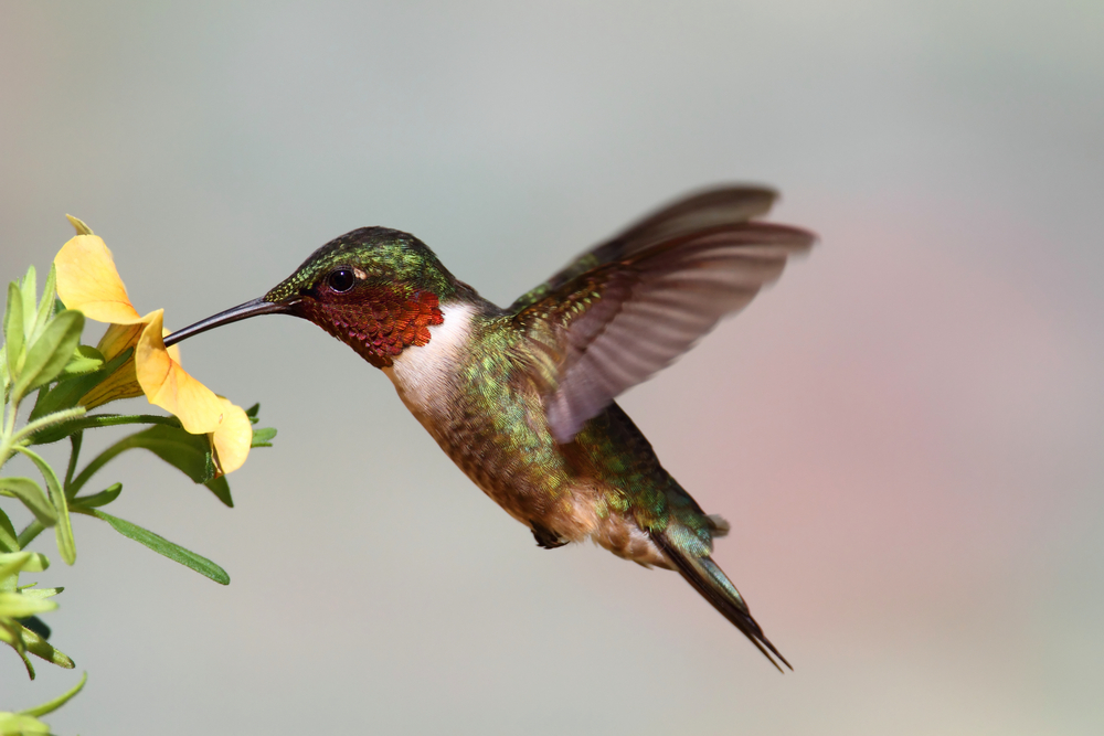Humming Birds Do not Make Really Great Pets, But they Are Exciting To Watch