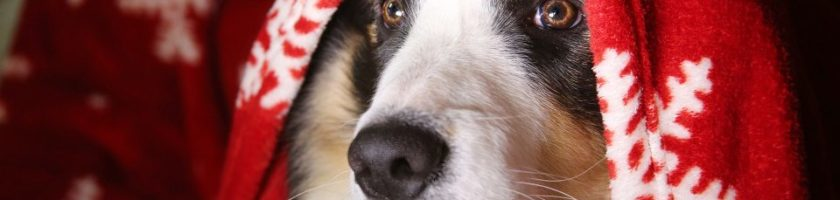 What To Do If Your Dog Has a Cold