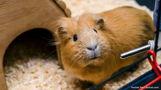 The Smartest Approach to Invest in a Guinea Pig