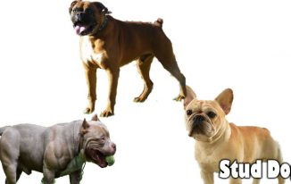 The Best Way To Decide On A Stud Dog