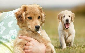 Golden Retriever Instruction Strategies For Negative Dog Behavior