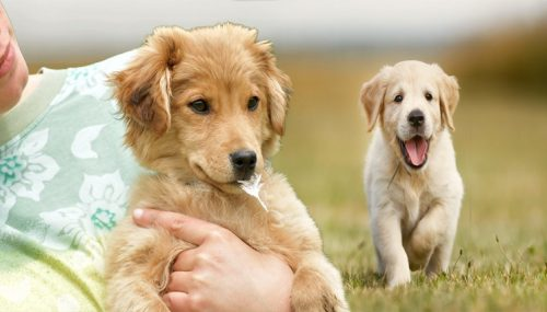 Golden Retriever Instruction Strategies For Negative Dog Behavior